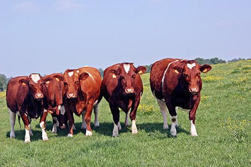 La vache Rouge des prés
