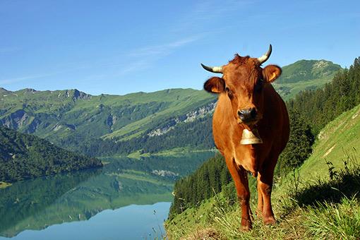 La vache Tarentaise