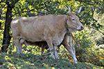 La vache Villard de Lans