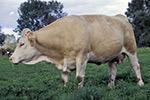 La vache simmental francaise