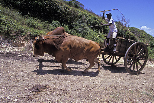 La vache Créole