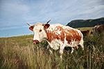 la vache ferrandaise