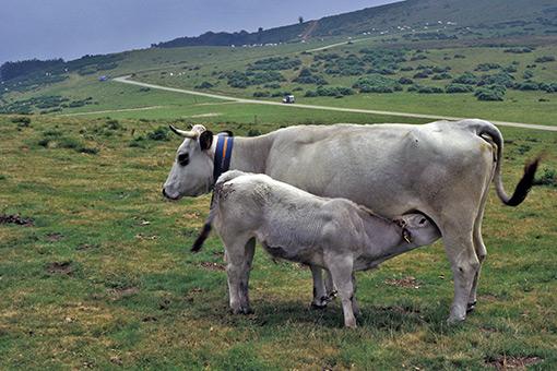 vache Gasconne