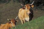 la-vache-lourdaise