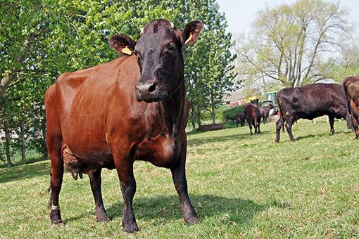 la vache rouge flamande