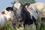 La vache Blanc bleu