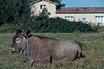 La-vache-bazadaise