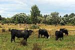 la-vache-Brava